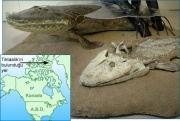 Tiktaalik reconstruction.jpg